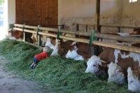 25_fressende-Rinder